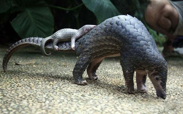 Pangolins: why this cute prehistoric mammal is facing extinction