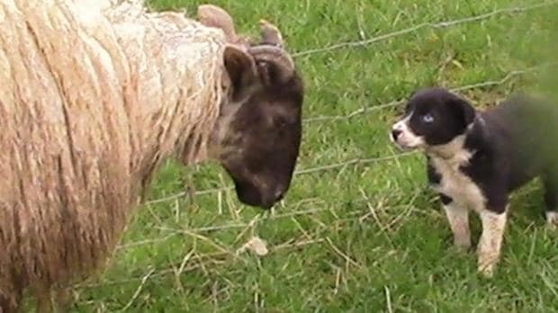 First day on the job for adorable sheep dog