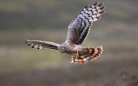 Natural England criticised after three of the five hen harriers raised in captivity disappear and are feared dead when released into the wild