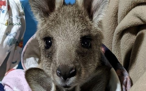 Australian driver, 19, charged with killing 20 kangaroos in hour-long spree