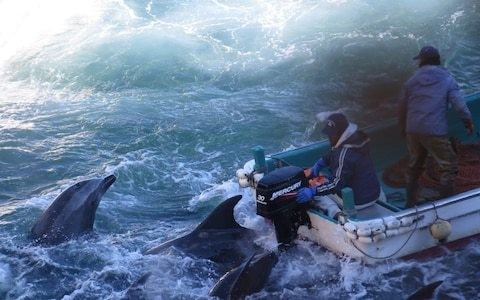 Japan's controversial annual dolphin hunt begins