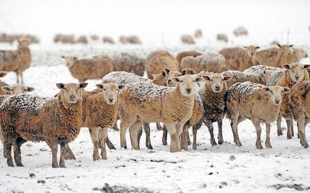 Woolier sheep suggest long, cold winter, says natural forecaster David King