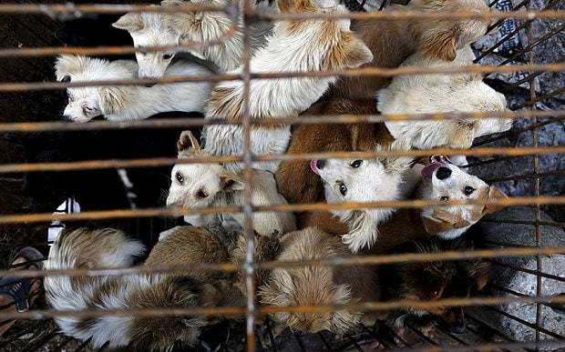 Thousands of dogs and cats slaughtered at China festival despite government promises to crack down