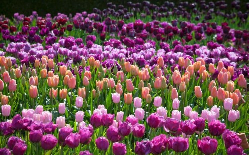 10 of the very best tulips to plant now
