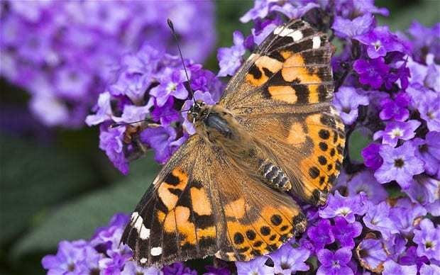 Make your garden a butterfly magnet