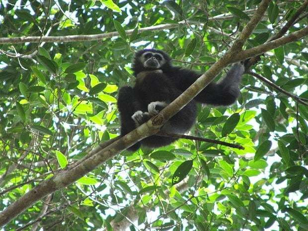 Secret language of gibbons translated by scientists