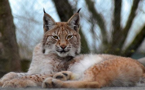Lynx that could eat pets on the loose in Wales after escaping zoo