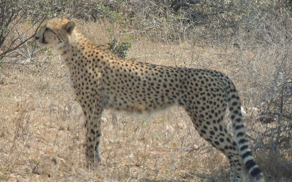 Cheetahs facing extinction amid dramatic decline in numbers