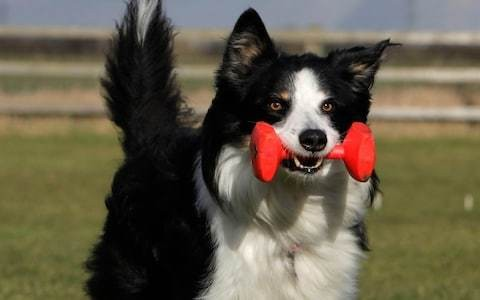 Dogs are red-green colour blind, research indicates