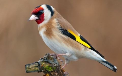 Goldfinches had their best year ever in 2019, citizen science project finds