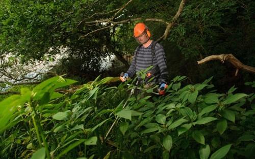 Invasive Himalayan balsam has overtaken native species in British woods