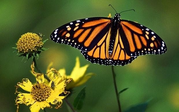 Butterflies steal DNA of zombie wasps in natural genetic modification