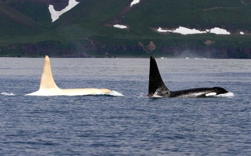 Only known white killer whale sighted by scientists for first time since 2012
