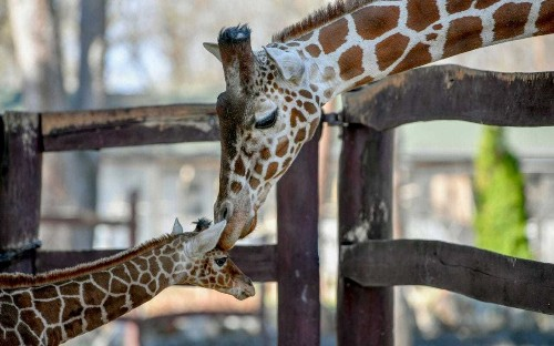 Giraffes must be protected from trophy hunter loophole, campaigners say as Government under pressure to act