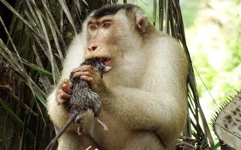 Killer rat-eating monkeys stun scientists in Malaysia