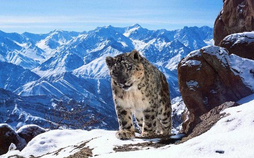 David Attenborough on Planet Earth II: 'I was deeply moved by the plight of the snow leopard'