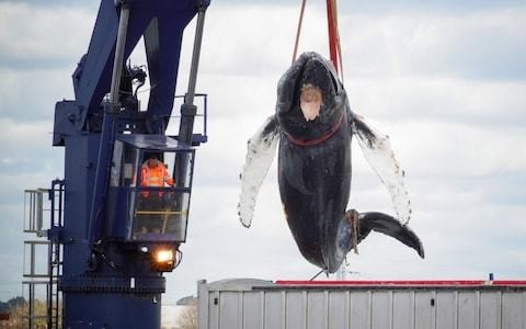 'Hessy' the humpback whale died after a shipstrike, ZSL confirm