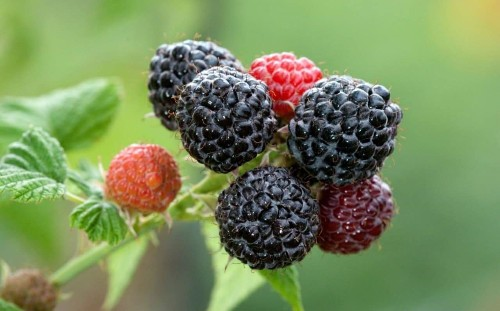 Order and plant unusual soft fruit this winter for a delicious summer harvest