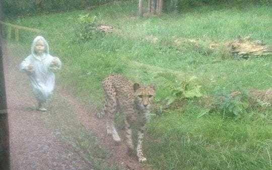 Child 'chases' cheetah in amazing photo