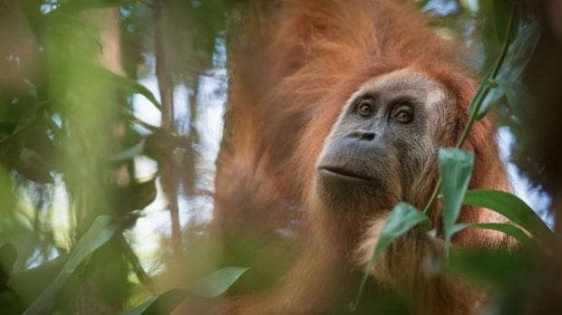New great ape discovered... and immediately listed as world's most endangered