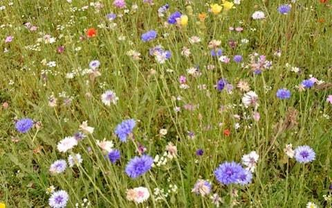 Wildflower verges designed to help bugs could backfire because councils are using non-native species, charity warns