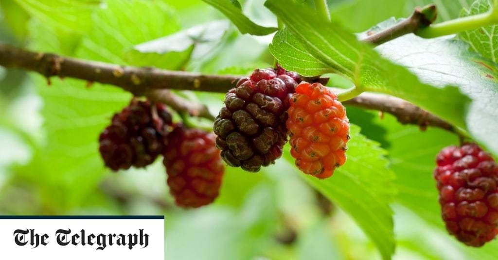 The ultimate guide to mulberries: growing tips, the best varieties and recipes