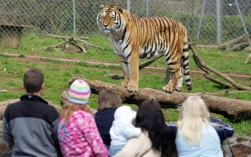 Campaigners accuse British zoo of animal cruelty for offering £15 tug of war with lion