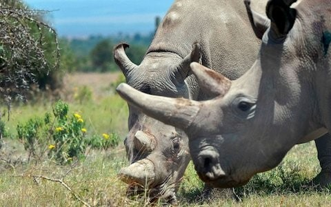 Scientists harvest eggs of last two surviving white rhino to pull species from brink of extinction