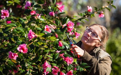 'Fragrant February' declared by RHS as they say hot summer and mild winter have led to more early blooms