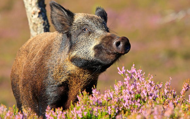 Pensioner killed by wild boar sparks calls for cull of hogs and bears