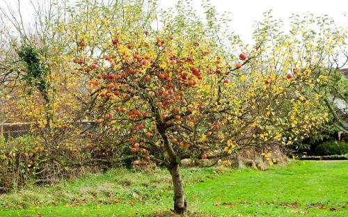 How to prune your apple tree