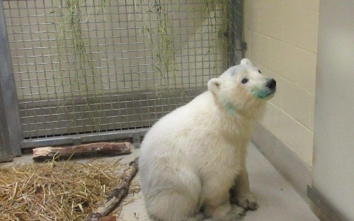 Lonely polar bear cub found wandering alone gets second chance