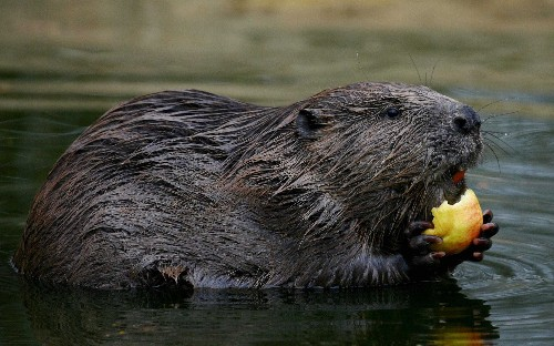 Beavers boost fish numbers and have little impact on farming, first study shows as Government set to allow them to be released into wild