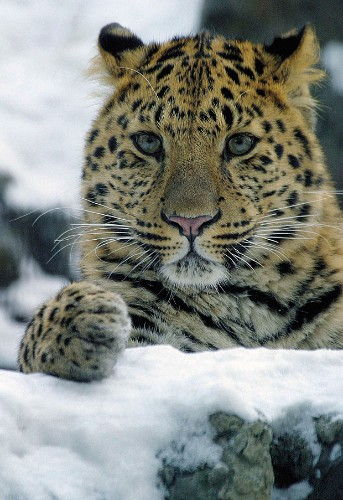 World's rarest wild cat saved from extinction along Russian-Chinese border