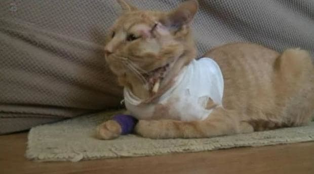Heroic cat takes a bullet and saves a 3-year-old's life