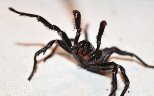 Venom from the funnel web spider could prevent brain damage from strokes after 'world-first discovery'