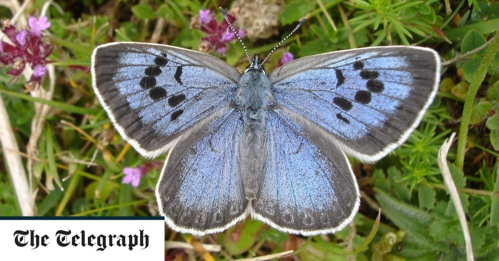 Rare blue butterfly successfully reintroduced to the UK after recreating meadow habitat with the help of cows