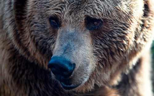 French farmers furious over call for mates for lonesome Pyrenean bears