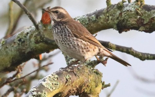 Amateur's ultra-rare sighting of Siberian dusky thrush brings hundreds of birdwatchers to Derbyshire village