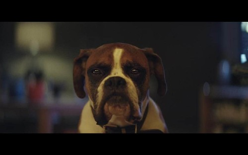 Buster the Boxer is adorable, but a Boxer puppy is for life, not just for Christmas