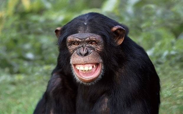 Chimpanzees get excited by TV shows featuring humans dressed up as apes
