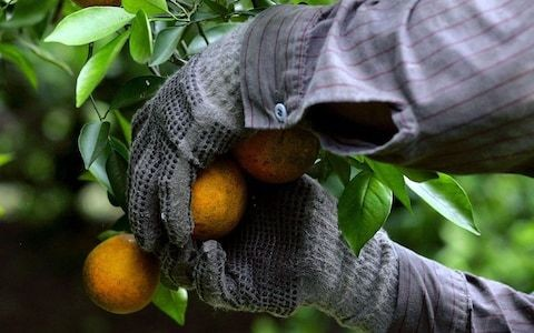 Avocado and citrus fruit production a threat to food security, experts warn