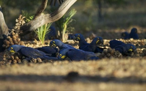 In Brazil, tracking the Big Five: macaws