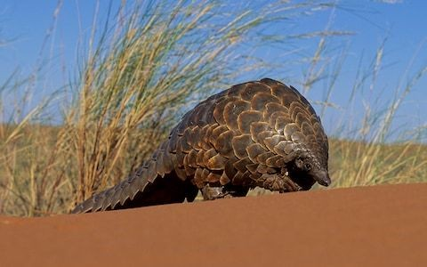 How you can help save the world's most trafficked mammal