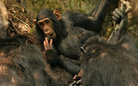 Chimpanzee meat being eaten in UK as border force urged to bring in DNA testing