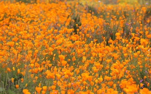 Californian superbloom: nature at its most spectacular