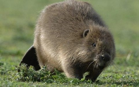 Beavers to be reintroduced on two National Trust sites, despite farmers' opposition
