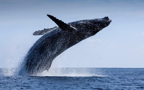 Saving the whale is more important than planting trees when it comes to climate change, scientists argue