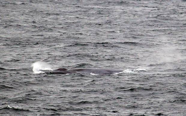 Blue whale photographed in English seas 'for the first time' in waters off Cornwall