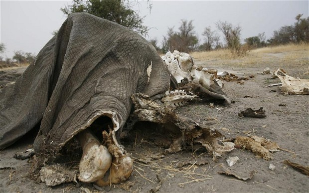 Poachers kill 300 Zimbabwe elephants with cyanide